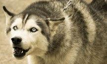 Local Husky