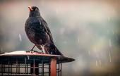 Blackbird in the rain close up