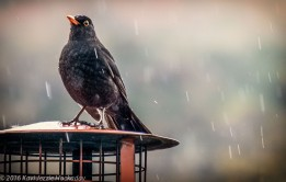 Blackbird in the rain close up
