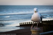 Seagull Intimate