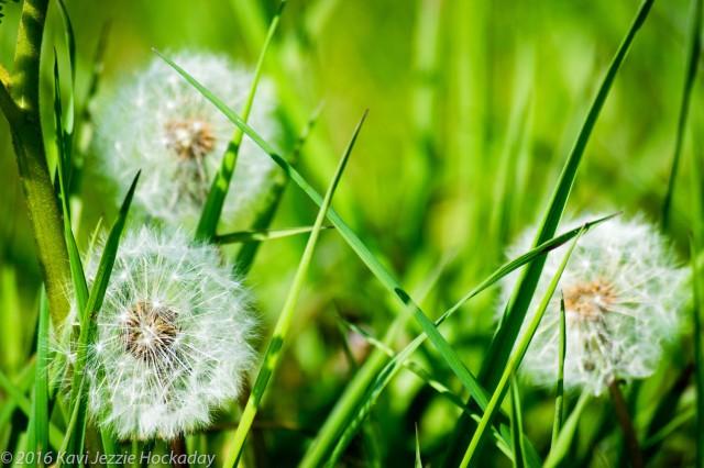 Dandelion whisper