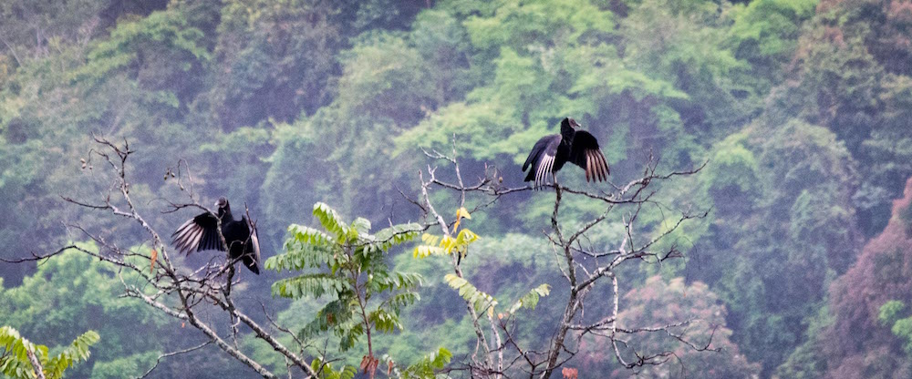 vulture-birds-copy