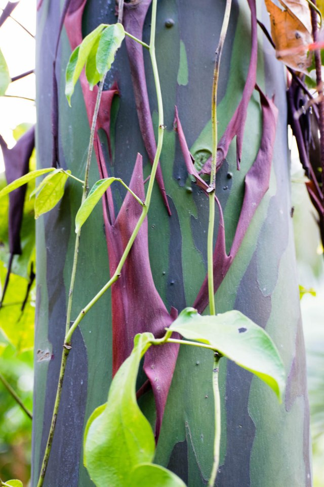 rainbow eucalyptus tree small